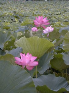 Lotus is the flower of heaven.